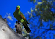 25th Jul 2017 - Red Winged Parrot