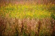 27th Jul 2017 - Wildflower Meadow