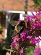 27th Jul 2017 - Buff-tailed bumblebee