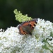 Tortoiseshell on White Buddleia