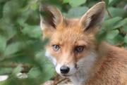 27th Jul 2017 - Fox with big eyes