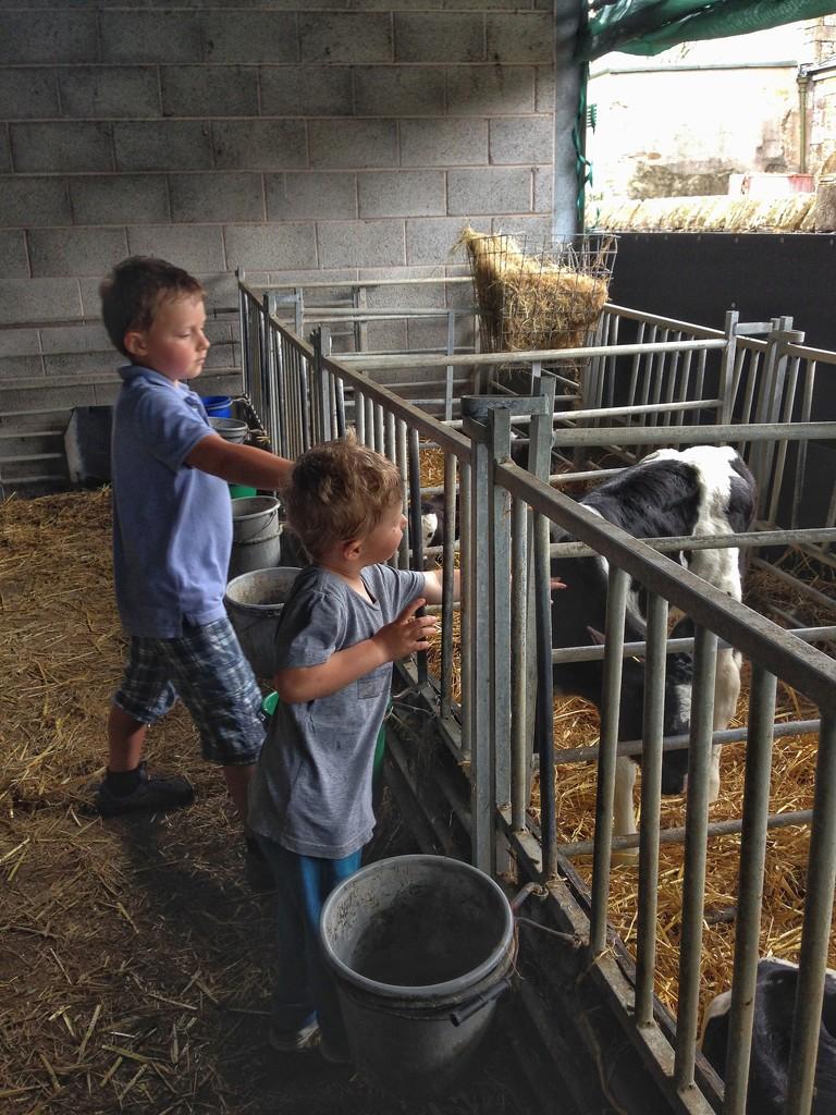 Boys & calves by happypat