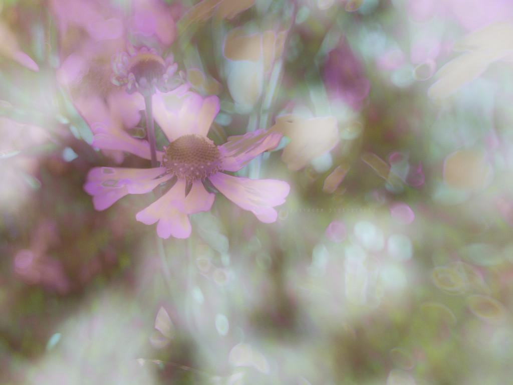 midsummer night's dream  by pistache