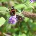 2 Red Admiral Butterflies