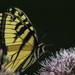 Swallowtail Enjoying The Spotted Joe-Pye by skipt07