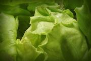 26th Jul 2017 - Hydroponic lettuce