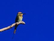 16th Jul 2017 - Rainbow Bee-Eater