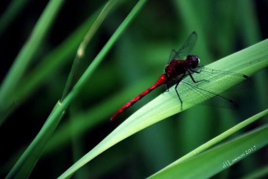 Red Dragon by flygirl