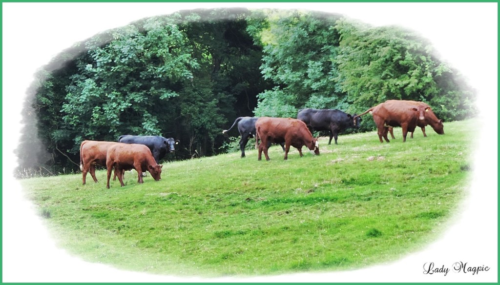 Special Stroud Valley Cattle by ladymagpie