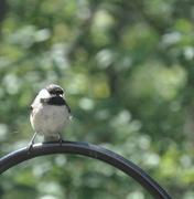 28th Jul 2017 - Chickadee