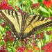 Swallowtail  by joysfocus