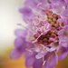 Inside a Scabious Head by fbailey