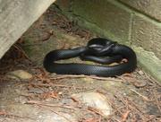 29th Jul 2017 - Closeup of Black Snake