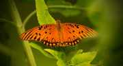 29th Jul 2017 - Gulf Fritillary Butterfly!