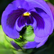 30th Jul 2017 - A Pansy in a little world for the Etsooi challenge.