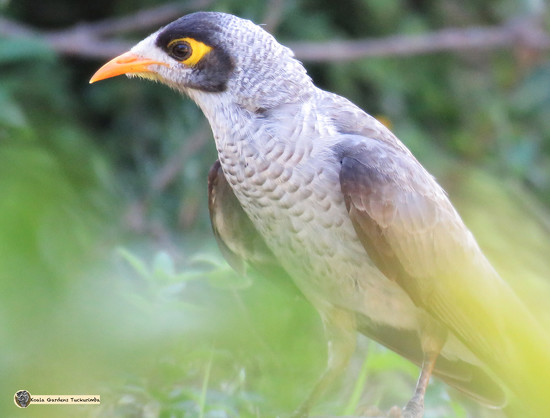 noisy miner by koalagardens