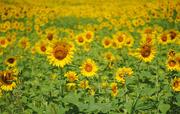 30th Jul 2017 - Sunflower Fields Forever