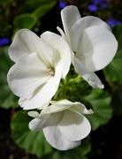 30th Jul 2017 - White geranium