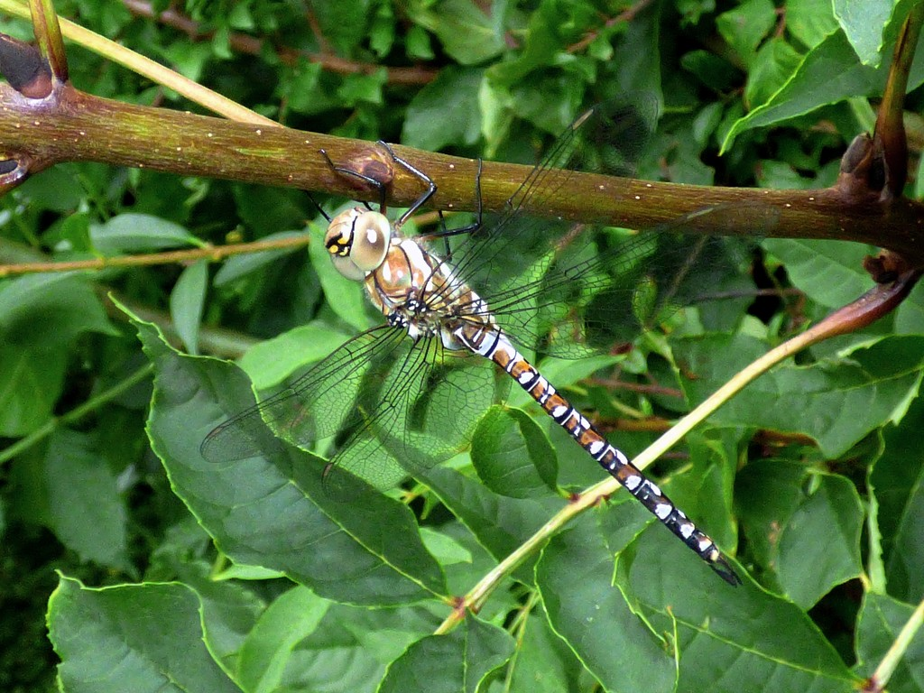 Migrant Hawker dragonfly -  Aeshna mixta by julienne1
