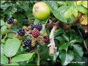 30th Jul 2017 - Anyone for blackberry and apple pie?