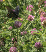 30th Jul 2017 - Purple clover with visitor