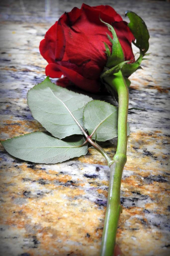 Rose line by homeschoolmom