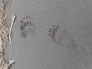 17th Jul 2017 - Grizzly Paw