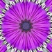 Our Cape Daisy (Osteospermum) for the Etsooi challenge on 365 Project