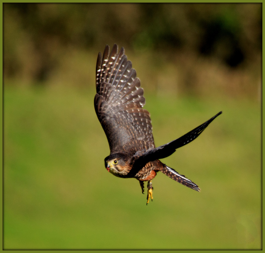 NZ falcon by dide