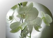 1st Aug 2017 - Orchids