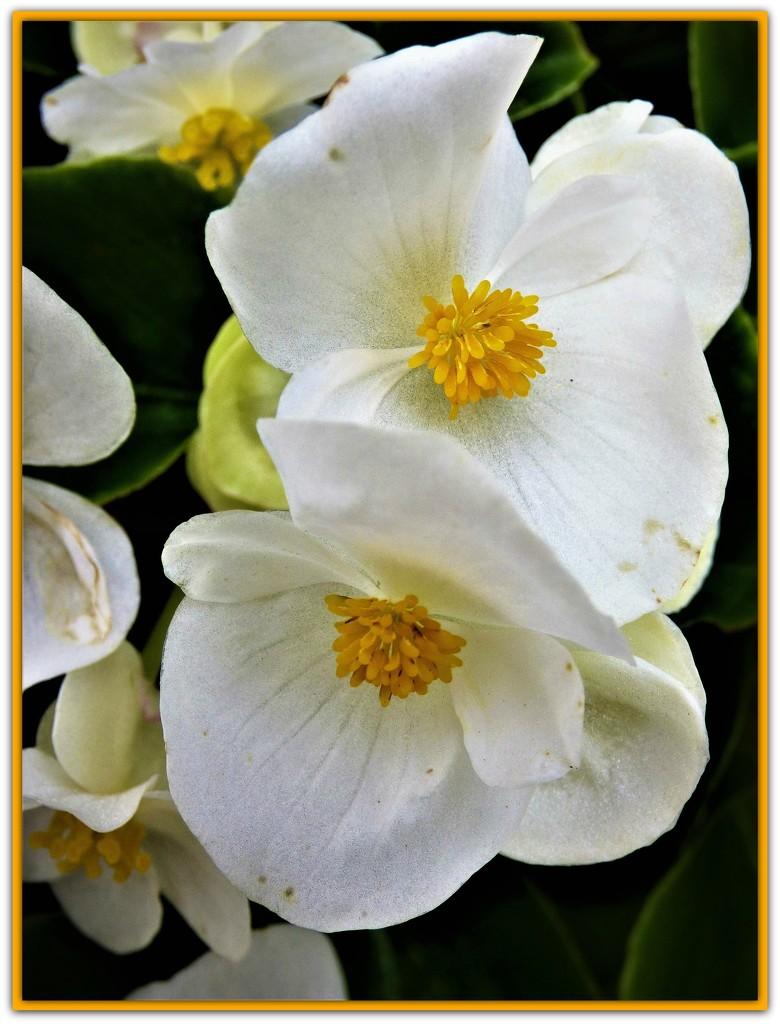 Begonias  by beryl