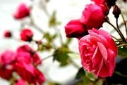 30th Jul 2017 - raindrops on roses