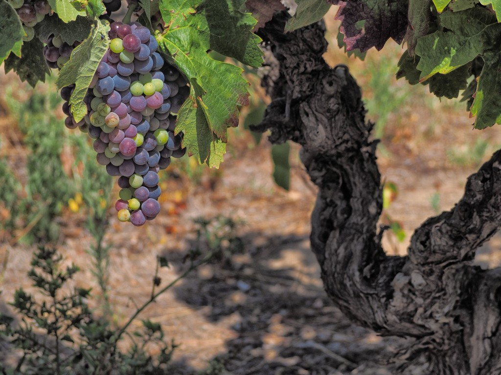 Grapes and vine by laroque