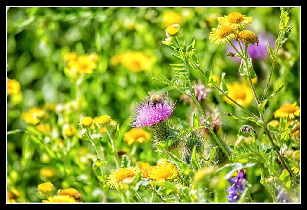 Wild flowers and a bumble bee by pamknowler