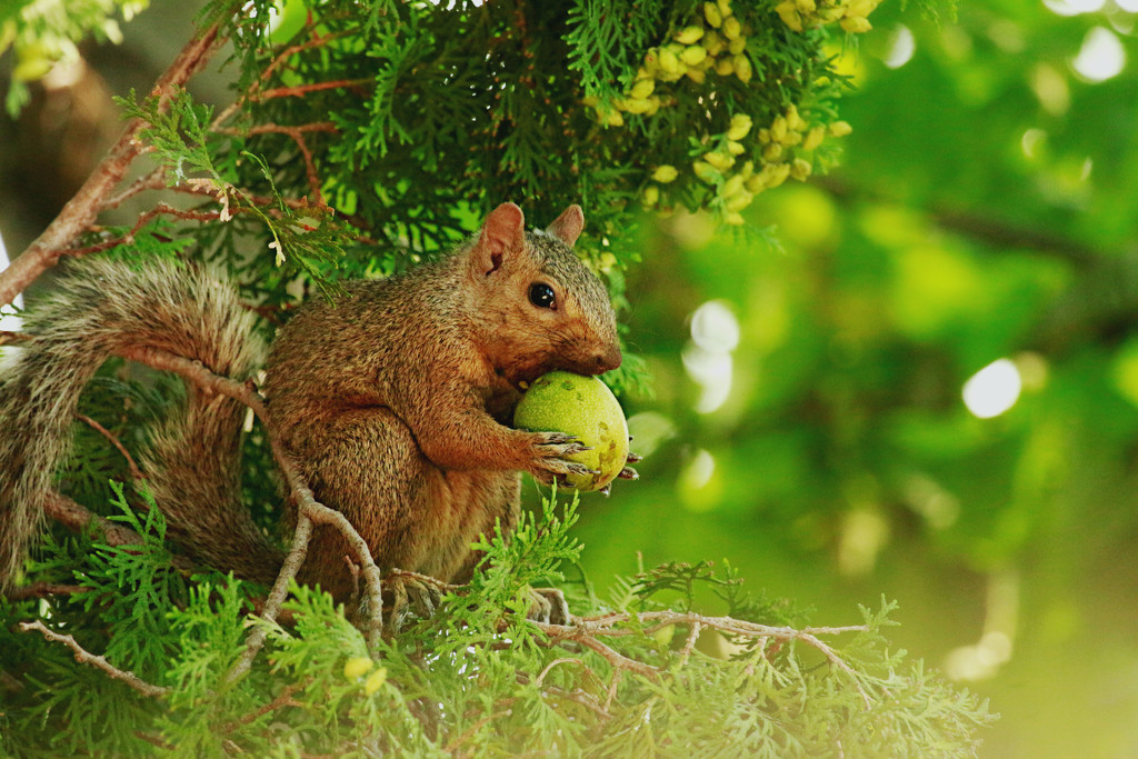 Squirrel and Walnut by gq
