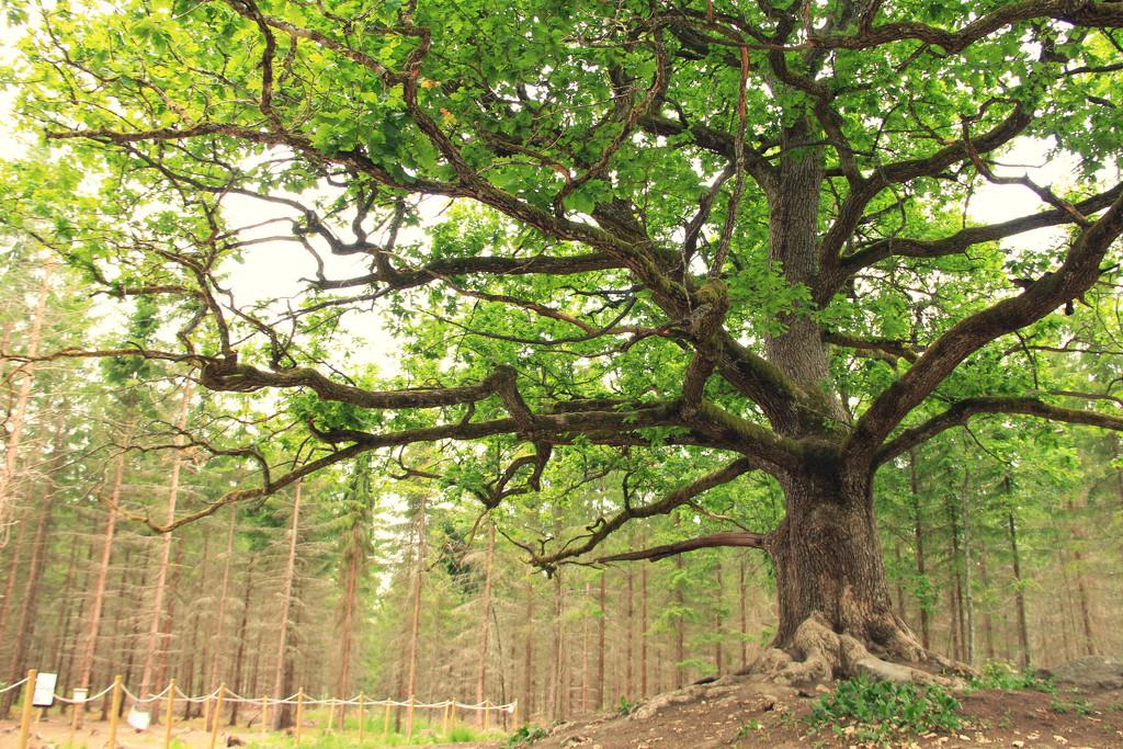The old oak tree II by susale