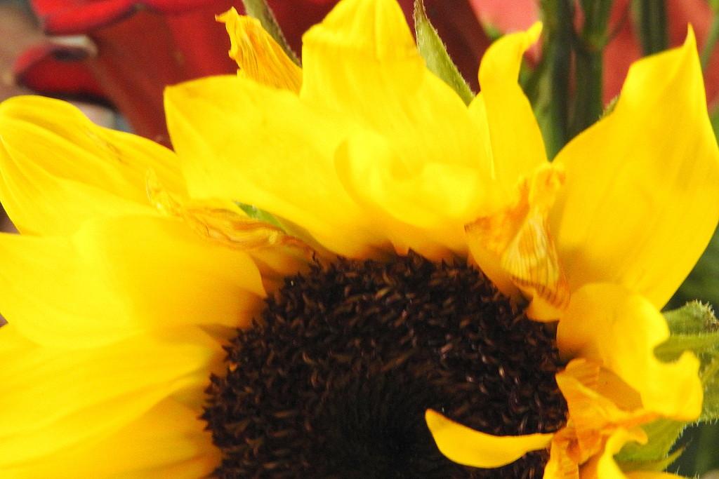 Sunflower half by homeschoolmom