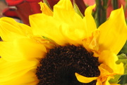 11th Jul 2017 - Sunflower half