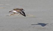 1st Aug 2017 - Banded dotterel in flight