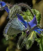 1st Aug 2017 - Blue flutter