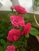 1st Aug 2017 - Miniature roses