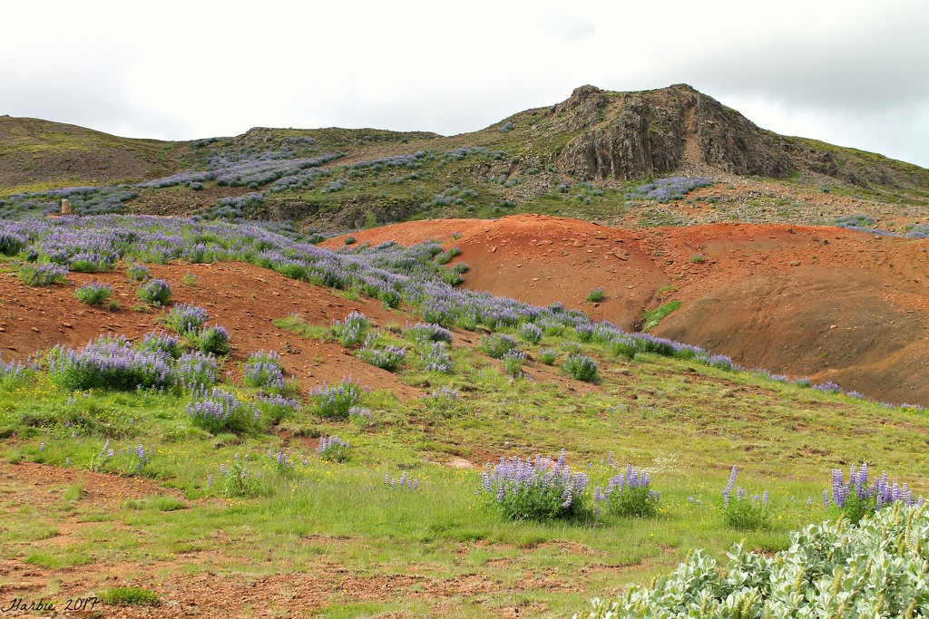 More Icelandic Lupine by harbie