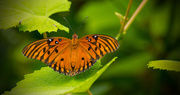 1st Aug 2017 - One More Gulf Fritillary Butterfly!