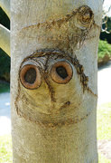2nd Aug 2017 - Tree Owl