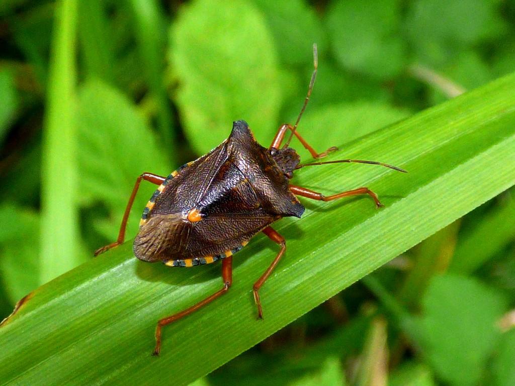 Red-legged Shieldbug - Pentatoma rufipes by julienne1