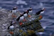 25th Jul 2017 - A PARLIAMENT OF PUFFINS - VERSION TWO