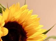 3rd Aug 2017 - Sunflower