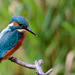 Young male Kingfisher-new approach by padlock