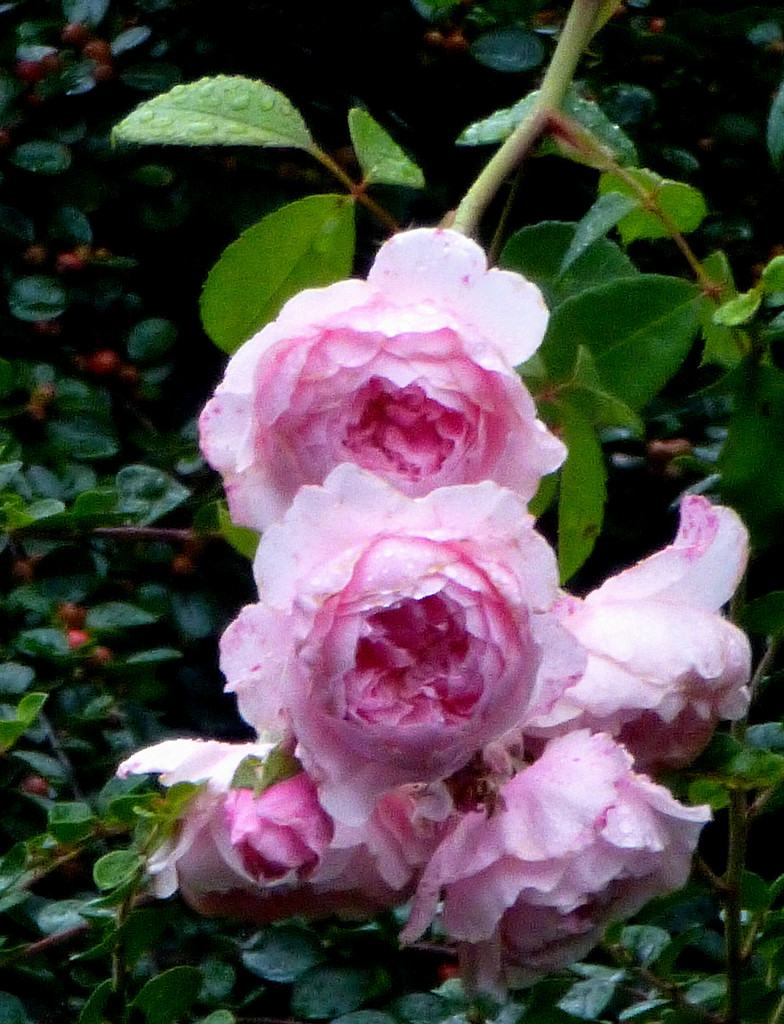Roses in the rain.... by snowy