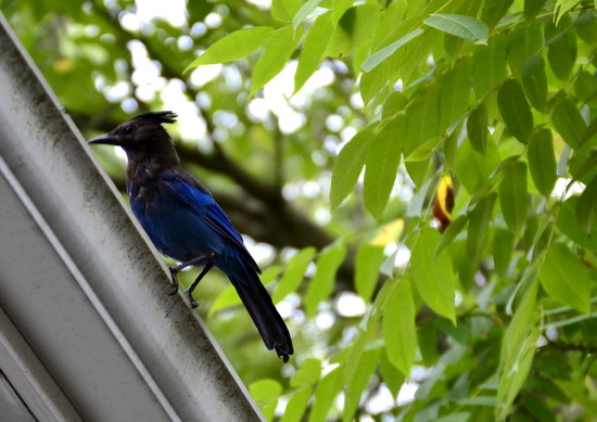 Steller's Jay on 365 Project